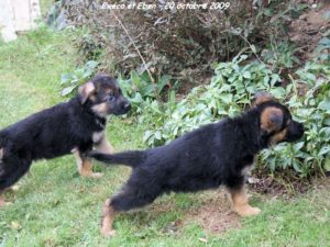 2 chiots berger allemand en exploration