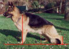 préparation aux expositions canines pour un berger allemand
