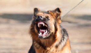 Les chiens nés dans des conditions défavorables ont le plus de chances de devenir agressifs