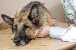 un berger allemand chez le vétérinaire