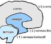 3_couches_du_cerveau